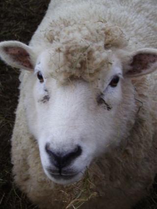 mouton poil frisé fourrure